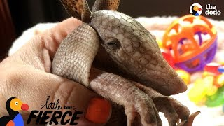 Tiny Armadillo Is Obsessed With Taking Baths  | The Dodo Little But Fierce