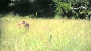 Guepardos caza Impala