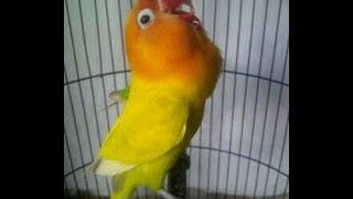 Gambar cover Love Bird Jawara  Cerewet Ngekek Panjang !!! Pemancing Love Bird