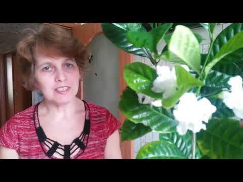 Вопрос: Табернемонтана на какие комнатные растения похожа, чем заменить?