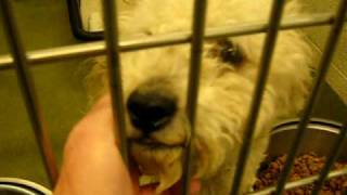 Adopted - Duncan The Cute Poodle Terrier In Kill Shelter - Visit: Http://dogsneedhomes.blogspot.com