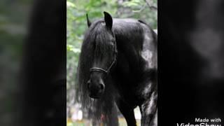 Лошади фризской породы.