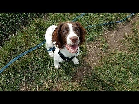 Lottie  5 Month Old Springer Spaniel Puppy  3 Weeks Residential Dog Training