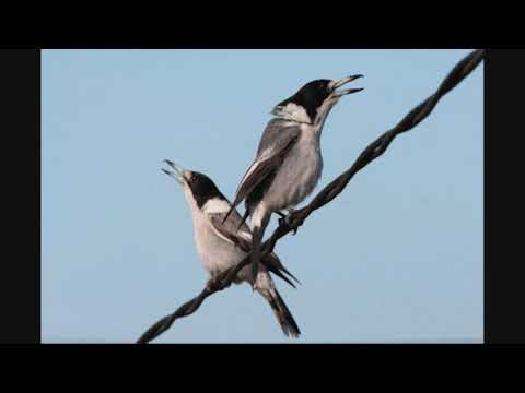 Grey butcherbird call