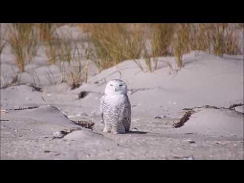Snowy Owl - Jones Beach, New York