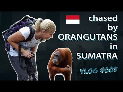 Chased by ORANGUTANS in SUMATRA (Bukit Lawang)
