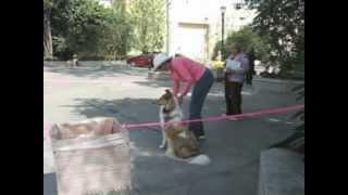 Collie Puppy Dog Fails Cgc Test, Part 2, Canine Good Citizen