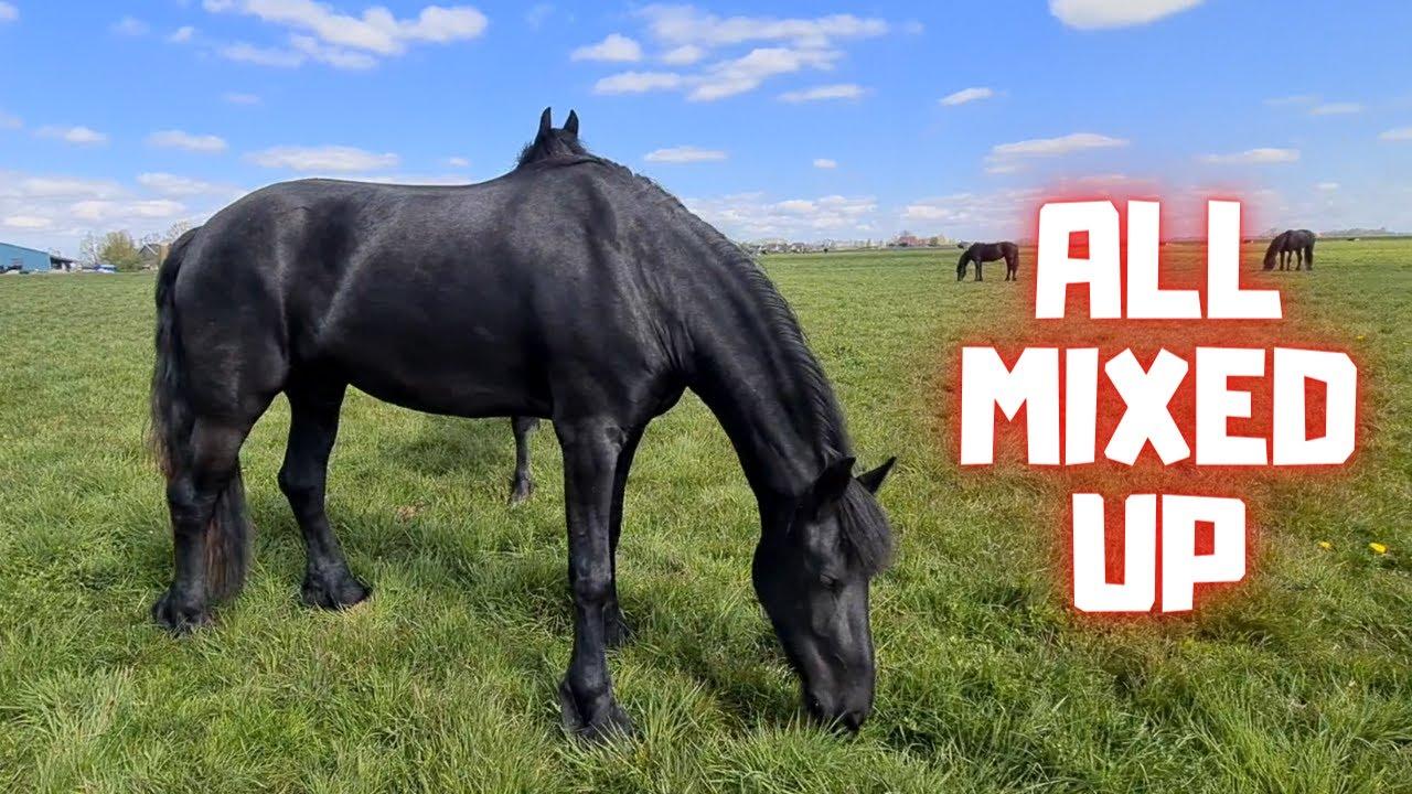 All horses are mixed up   Friesian Horses