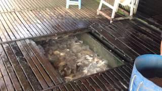 Feeding the Crazy Fishies of Vietnam