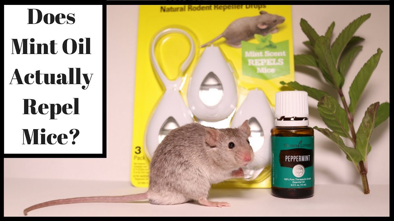 Does Mint Oil Actually Repel Mice Let S Test It Out With Real