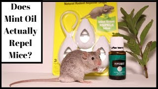 Does Mint Oil Actually Repel Mice  Lets Test It Out With Real Mice