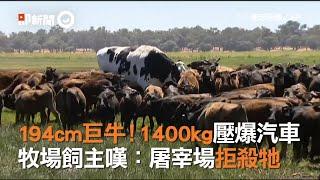 194cm巨牛1400kg!牧場飼主嘆:屠宰場拒殺牠|澳洲|閹割牧牛|尼科斯