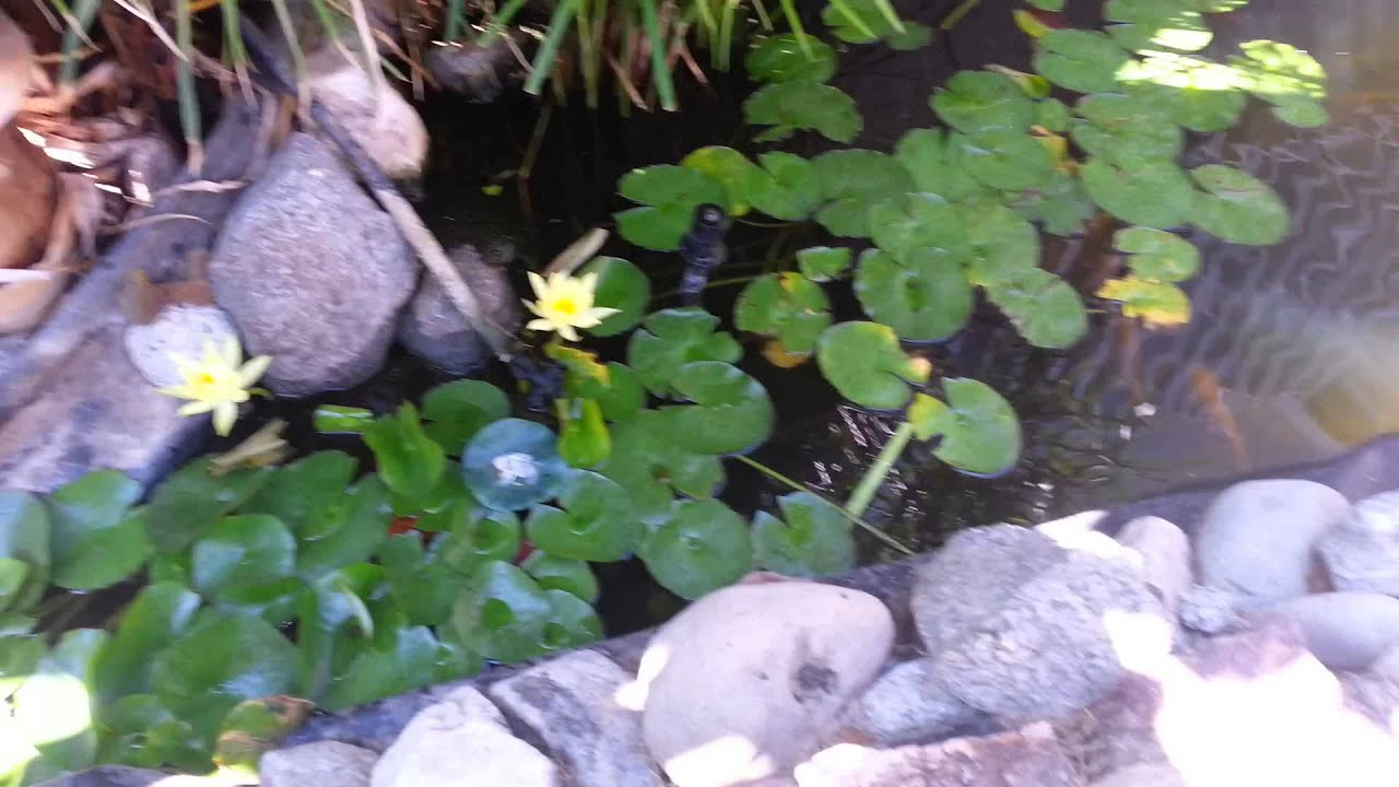 Small pond in front yard koi fish youtube for Front yard fish pond