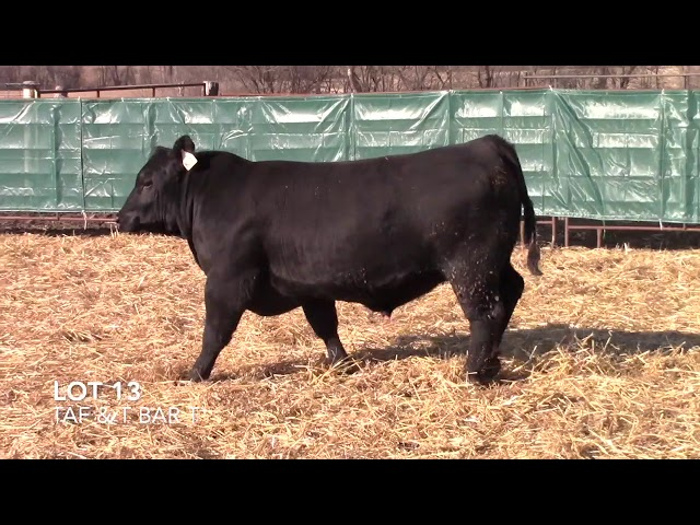T Bar T and Taliaferro Angus Lot 13