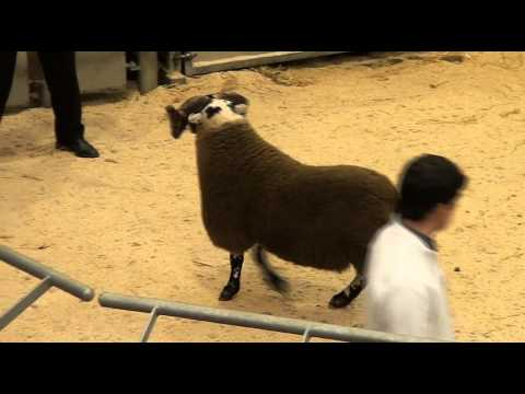 Stirling and Perth Ram Society Annual Sale of Blackface Shearling Rams and Ram Lambs 6/10/12