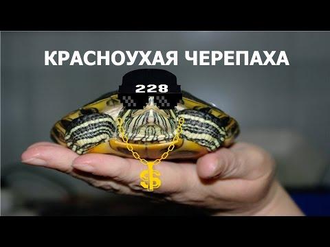 Интересные факты о красноухих черепахах