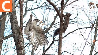 청설모를 사냥하는 참매 (A hawk hunts down squirrel!)