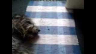 Irish Wolfhound Vs Yorkshire Terrier