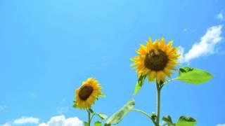 花*花 - ひまわりの花