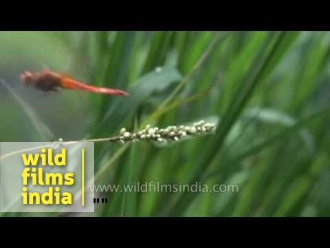 How a Dragonfly flies : slow motion in the Himalaya