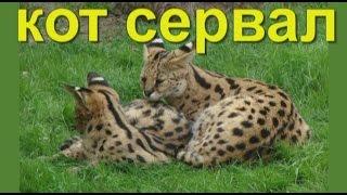 Кот сервал - африканская кошка сервал или кустарниковая кошка