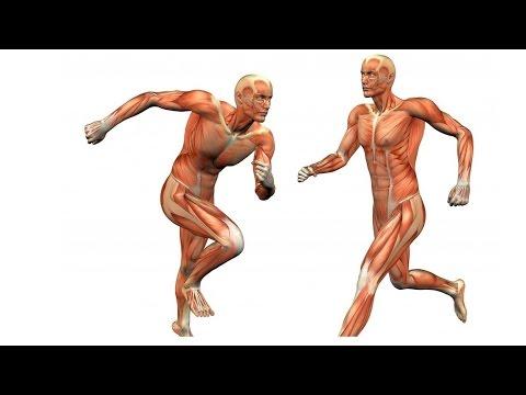 Анатомия нижней конечности. Основные мышцы голени и бедра ноги