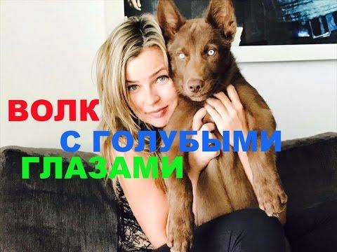 Волк с голубыми глазами Умка - друг Маши !
