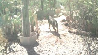 Emrys Playing, Czech German Shepherd, German Shepherd Puppies, Breeder, Arizona