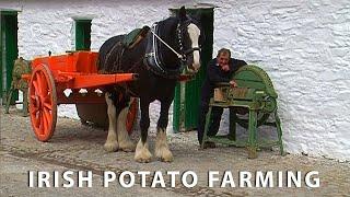 Vintage Potato Farming in Ireland - Farming with Horses \u0026 Vintage Tractors - Irish Documentary