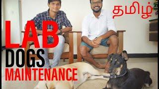 Labrador Retriever Dog Maintenance | How To Choose Lab puppy | Indi dog (Native Dog) | Tamil
