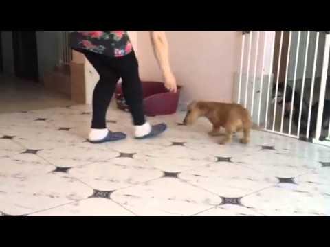 Wirehaired standard dachshund puppy-male Redfree Iz Novo-Peredelkino