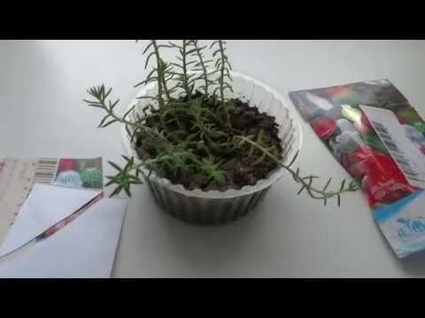 Что выросло из китайских семян кактусов!