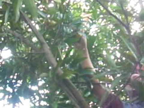 arbol pumarosa
