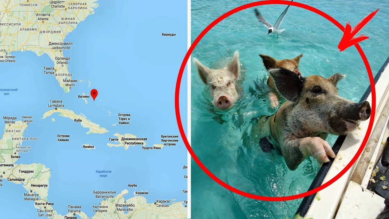 Download Pirates brought pigs to an uninhabited island and left… After many centuries, people discovered them