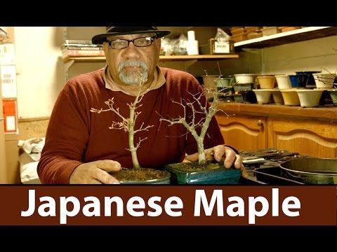 Japanese Maple Bonsai Repotting Trees-Bonsai Trees for Beginners Series, London, UK #152
