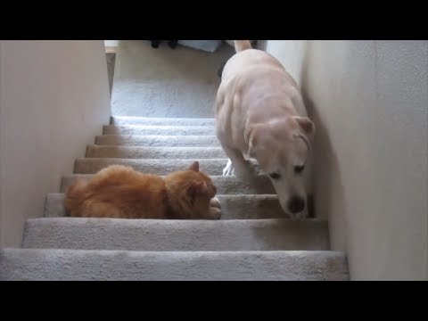 Funny Dog Afraid of Cat - You shall Not Pass, Dog!