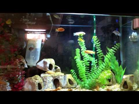 Steve Poland Cichlids 300 Subscriber Contest Entry