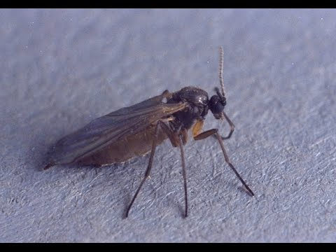 how to get rid of fungus gnats in finished compost youtube. Black Bedroom Furniture Sets. Home Design Ideas
