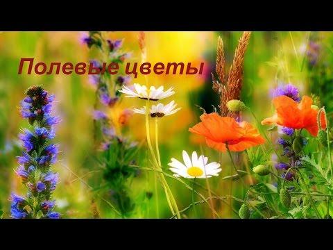 картинки полевых цветов фото