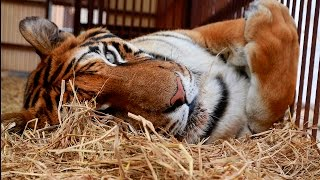 The Rescue of Hoover The Peruvian Circus Tiger