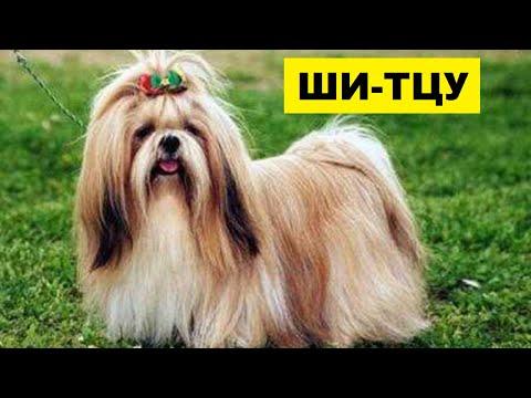 Собака Ши-тцу - плюсы и минусы породы | Собаководство | Порода Ши-тцу