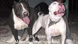 Download Video Cachorros American Bully-Pitbull Blue MP3 3GP MP4
