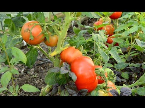 Вопрос: Чем хорош сорт томатов Буржуин Какие отзывы?