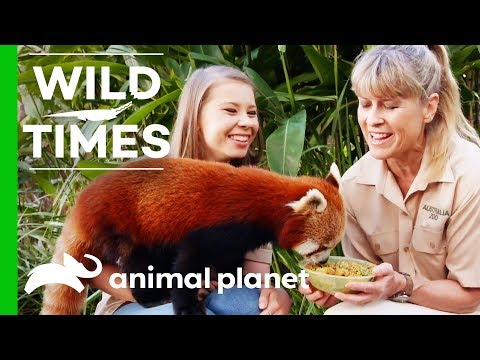 Bindi And Terri Introduce Us To Ravi the Red Panda! | Wild Times