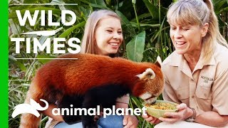 Bindi And Terri Introduce Us To Ravi the Red Panda! | Wild Times