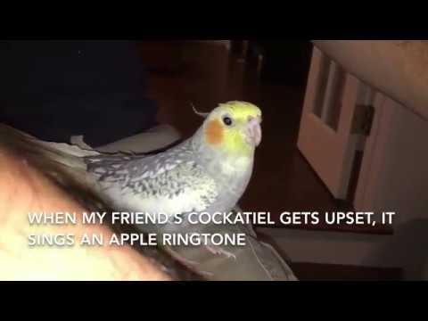 Cockatiel Sings iPhone Ringtone
