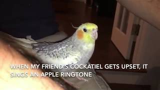 Cockatiel Sings iPhone Ringtone
