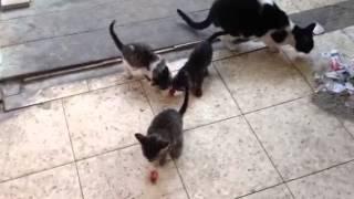 Мурчание котят во время еду :)