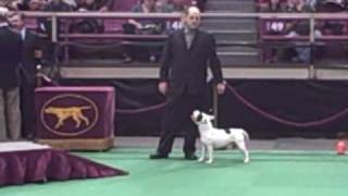 Staffordshire Bull Terrier Judging - Westminster 2010