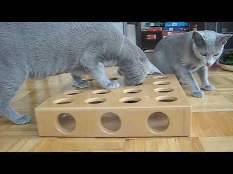 Russian Blue Kittens and SmartCat Peek-a-Prize Snack Box